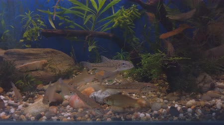 Freshwater wild fish, the gudgeon (Gobio gobio) and small bream in clear aquarium water. Selective focus Стоковые видеозаписи