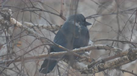 birdie : A black jackdaw bird sits on the branches of a birch tree in the cold autumn