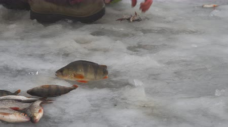 ужение : Fisherman collects caught fish that lies on ice. Winter fishing. Fish on the ice. Perch and roach