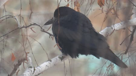 perching : A black jackdaw bird sits on the branches of a birch tree in the cold autumn