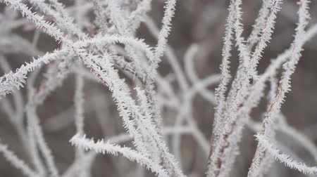 szron : White Hoarfrost on the thin twigs of a Bush in cloudy, foggy weather