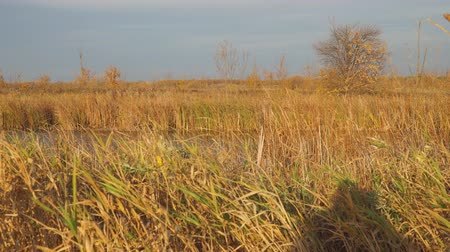 cattail : Beautiful Autumn lake surrounded by dry reeds and grass