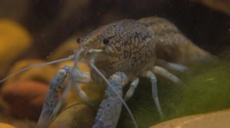 antennae : Marble river crayfish under water eating algae. Procarambus virginalis. Close up