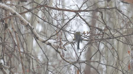 perching : A small titmouse on the branches of a birch tree under the falling snow Stock Footage