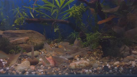 návnada : Freshwater wild fish, the gudgeon (Gobio gobio) and small bream in clear aquarium water. Selective focus Dostupné videozáznamy