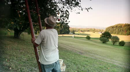 feltörés : HD1080p: Old farmer putting ladder to apple tree and picking apples