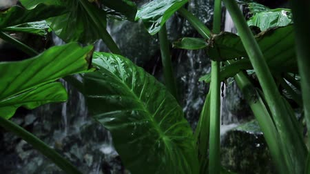 botanics : Leafs of a big palm in front of waterfall Stock Footage