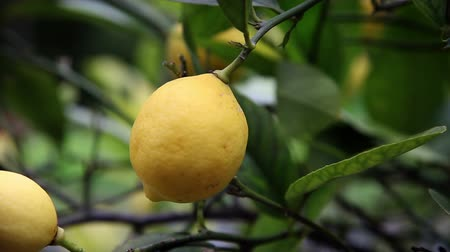 citrón : Close up of hand picking lemons from tree