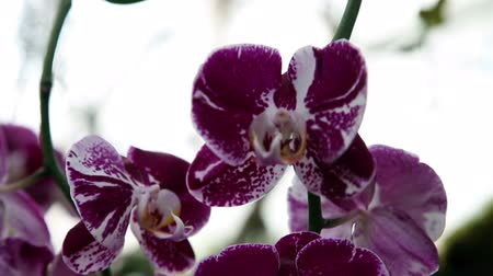 maceška : Beautiful purple orchids blossom