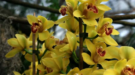 orchideák : Beautiful yellow orchids blossom Stock mozgókép