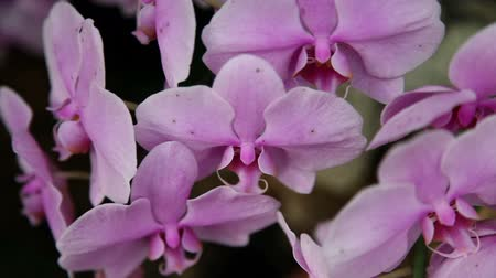maceška : Close up of a pink orchids blossom