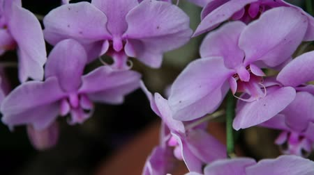 maceška : Close up of beautiful pink orchids blossom