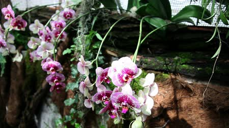 dendrobium : Beautiful blossoming orchids in forest