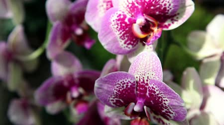 maceška : Close up of a beautiful orchids blossom