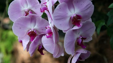 dendrobium : Close up of a beautiful pink orchids blossom