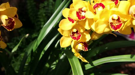 dendrobium : Beautiful yellow orchids blossom Stock Footage