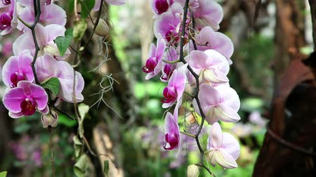 maceška : Beautiful pink orchids blossom