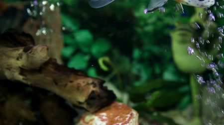 underwater video : a colorful fish enjoying in the specially decorated aquarium