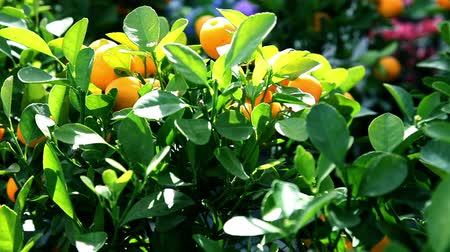 clima tropical : Close up of tangerine fruits on a tree