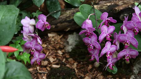 maceška : Pan shot of a group of pink orchids Dostupné videozáznamy