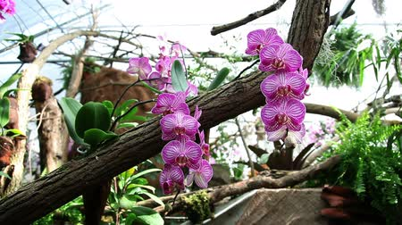 dendrobium : Pan shot of a group of pink orchids Stock Footage