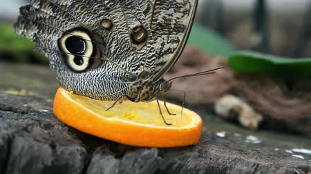 güve : Nice close shot of an exotic butterfly feeding on a slice of orange