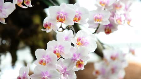 maceška : Beautiful orchid is blooming