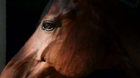 cavalinho : extreme close up on brown horse eyes
