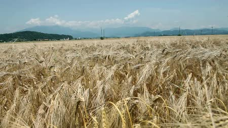 serenidade : Shot of a wheat field in summer