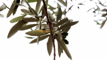 oliva : Close up shot of the olive tree branch