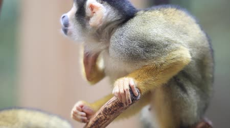 amazonka : HD VIDEO: The common squirrel monkey (Saimiri sciureus) in a captivity in looking around. Wideo