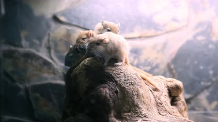 myocastor : Rodents in zoo Stock Footage