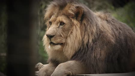 aslan : HD VIDEO: King of animals Lion, resting after great meal in captivity in zoo.