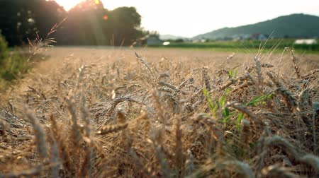 amadurecida : Shot of field with matured wheat during the sunset