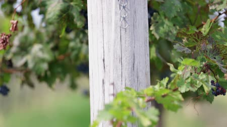 macadam : Detail pan shot of grape vines with shallow focus