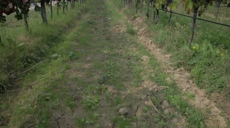 macadam : Tilt shot of long vineyards path Stock Footage
