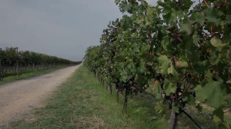 macadam : Two vineyards split with macadam road on sunny day