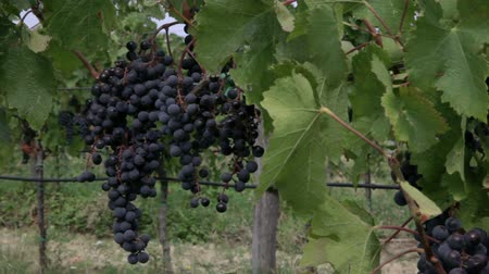 macadam : Close shot of grapes, leafs and vines. Stock Footage