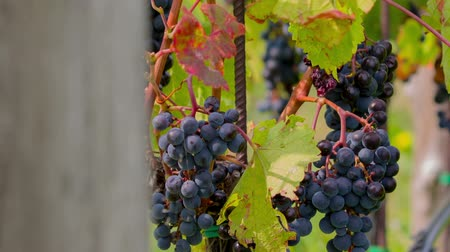 rota : Tilt shot of bunch of blue grapes and vines