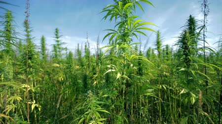 конопля : Large industrial hemp plants