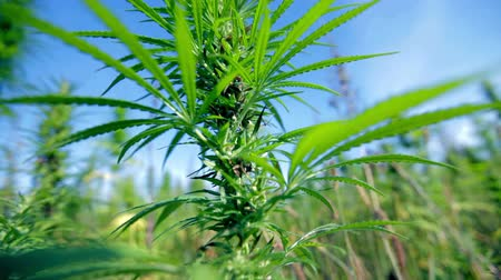 конопля : Bottom up shot of hemp plant
