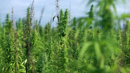 конопля : Large field of industrial hemp plants