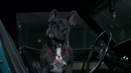 auto show : French bulldog sitting in blue Corvette and looking around