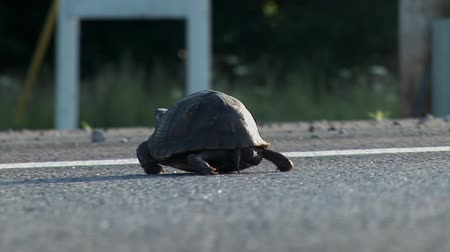 baixo ângulo : USA - JUNE 2009: Large turtle is crossing concrete road shot from low angle. Longest bicycle competition over United States of America - RAAM in 2009.