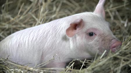 svině : Little pig is laying peacefully on the hay