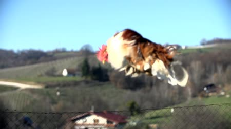 kakas : Rooster flies into the view Stock mozgókép