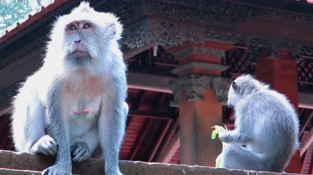 macaca fascicularis : Two monkeys sitting on stone temple fence