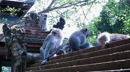 macaca fascicularis : Monkeys scratching, eating, climbing and sitting on a carved stone temple fence
