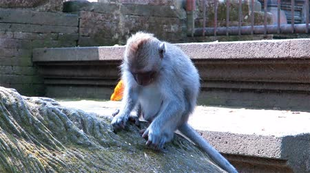 macaca fascicularis : Monkey sitting on tree roots, picking and eating food