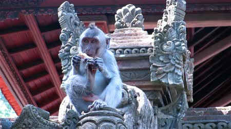 macaca fascicularis : Monkey sitting and eating on a fence in front of temple in Sacred monkey forest Stock Footage